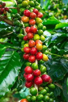 You make our lifes much easier! Kona Coffee, Coffee Farm, Camping Coffee, Coffee Love, Coffee Break, Coffee Shop, Coffee Bean Tree, Coffee Plant, Fruit And Veg