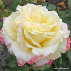 kordes rosen caramella m rchenrosen unsere lieblinge die sch nsten rosen der welt garten. Black Bedroom Furniture Sets. Home Design Ideas