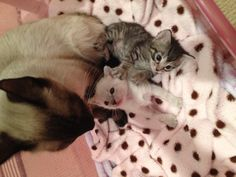 My new fosters- Siamese Mommy and 2 of her babies