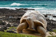 Galapagos Islands The Galápagos Islands and their surrounding waters form the Galápagos Province of Ecuador Isla Galapagos, Galapagos Islands, Giant Tortoise, Tortoise Turtle, Sulcata Tortoise, Ecuador Travel, Beautiful Creatures, Animals Beautiful, Animals And Pets
