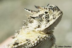 Texas_Horned_Lizard