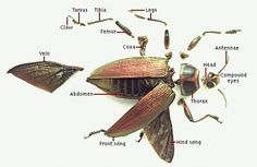 jewel beetles - Google Search