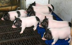 Genetically engineered pigs Chinese researchers developed a new kind of pig with 24% less body fat than regular pigs. The genetically engineered pigs that stay warmer, grow faster and healthier, all while reducing costs for breeders. The animals have less body fat because they have a gene that...