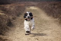 Photograph Cocker Spaniel by Paul Mansfield on 500px