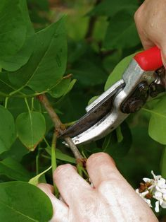 DIY Start a new lilac bush