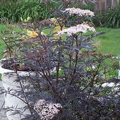 Elderberry Black Lace from American Meadows. this plant needs plenty of room. Awesome against a pale backdrop like my pale gray house.