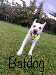 Bat dog!! Bat Dog, Den, Husky, Pitbulls, Animals, Animales, Pit Bulls, Animaux, Pitbull