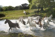 Portugal - Alentejo Ervideira's Lusitan horses in Evora