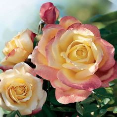 Rose Bella Roma Hybrid Tea - Bright yellow buds spiral open, revealing gorgeous, warm yellow petals blushed rich pink at their edges, and set off by glossy, dark green foliage. Love Rose, Pretty Flowers, Cut Flowers, Yellow Roses, Red Roses, Ronsard Rose, Patio Trees, Deck Patio, Bush Plant