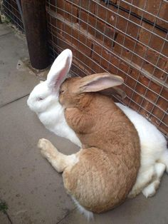 Flemish giant rabbits