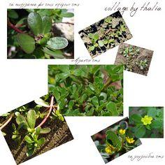 """ΒΟΤΑΝΑ ΚΑΙ ΥΓΕΙΑ: αντράκλα , ένα παρεξηγημένο φυτό το οποίο έχει χαρακτηριστεί από τους ερευνητές """"παγκόσμια πανάκεια"""""""