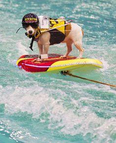 Jack Russell Terrier - REX/Zou Zheng