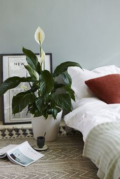 peace lily plant corner plants at home plant stand huge plants big plants living with plants air pur Peace Lily Benefits, Peace Lily Plant, Peace Lily Indoor, Boho Dekor, Living Vintage, Bedroom Plants, Small Apartment Decorating, Garden Living, Dream Decor