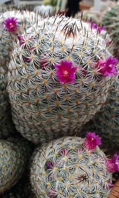 Mammillaria dealbata blooming. This is my little cactus that washed away in the huge storm last summer in Denton :(