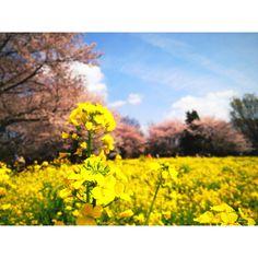 昭和記念公園、花見。