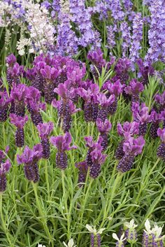 Lavandula stoechas 'Royal Splendour' - front of garage?  front of house?  (supposedly deters cats)