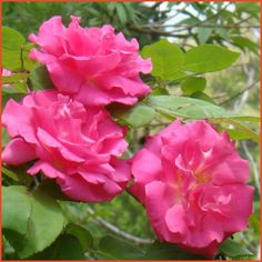 Zephirine Drouhin Rose 14.95 Class: Bourbon Rose  Origin: Bizot, France 1868 Flower Size: 3-4 inches Scent: Very Strong, sweet Bloom Season: Continuous Mature Size: 10 feet Hardiness: Zone 5-9