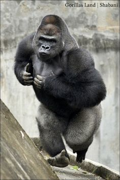 Shabani Gorilla in Japan. I didn't see this one on social media. Does the pose have anything to do with it? Animals And Pets, Baby Animals, Funny Animals, Cute Animals, Primates, Silverback Gorilla, Gorilla Gorilla, Mountain Gorilla, Interesting Animals
