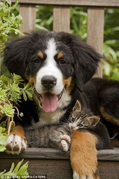 Perfect pals: This adorable photo, showing a Bernese Mountain dog cuddling up to a tabby kitten, shows that some pets can get along