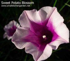 Sweet Potato Flower
