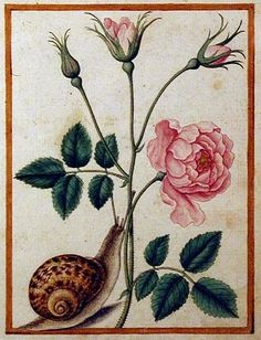 Pink Rose with Snail by Jacques le Moyne de Morgues, c. Jacques le Moyne de Morgues (c. was a French artist and member of Jean Ribault's expedition to the New World. Le Moyne ended his career as a highly regarded botanical artist in Elizabethan London. Vintage Illustration Art, Nature Illustration, Botanical Illustration, Botanical Flowers, Botanical Prints, Snail Art, Renaissance, Botanical Drawings, Fauna
