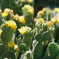 Bunny Ears Cactus An evergreen cactus that's as cute as its namesake, bunny ears cactus rarely produces spines. Its bright yellow flowers appear in spring and summer. Name: Opuntia microdasys Growing Conditions: Full sun and well-drained soil Size: To 2 feet tall Zones: 8-10