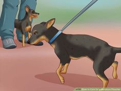How to Care for a Miniature Pinscher. The miniature pinscher is an energetic, inquiring, and demanding breed of dog. Min Pin Puppies, Min Pin Dogs, Mini Pinscher, Miniature Pinscher, Miniature Doberman, Doberman Pinscher Puppy, Dog Breeds, Cute Animals, Pets