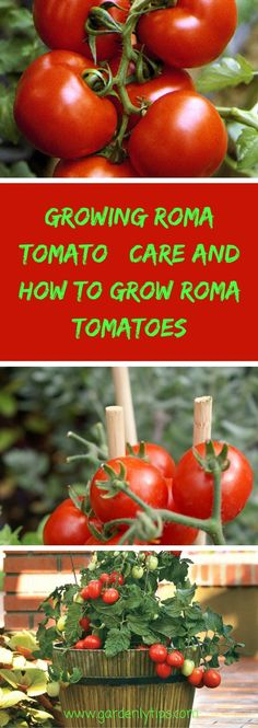 Roma tomatoes' growing , care and how can I grow Roma Tomatoes