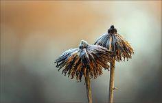 Vertrocknete Blüten mit Raureif - Jahreszeiten - Galerie - Community