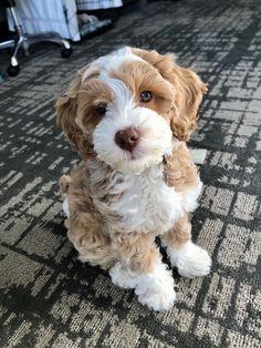 Super Cute Puppies, Cute Baby Dogs, Cute Little Puppies, Cute Dogs And Puppies, Cute Little Animals, Cute Pups, Sproodle Puppies, Doggies, Mini Puppies