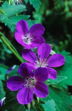 ger.180 Geranium 'Mayflower' commonly called Cranesbill geranium
