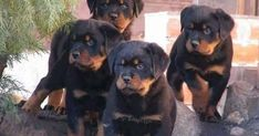 Dogspuppiesforsalecom liked | #Rottweiler #puppies! Getting a dog or a puppy as a new addition to your family is an excellent decision! You're adding another member that can provide lots of love and enjoyment! This is a relationship you'd want to make sure that you're doing right the first time around. You'll need to find out what makes your dog happy what are the things to look out for and basically how to give them a long and fulfilling life. This is what dogs puppies for sale is for.