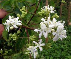 Heptacodium jasminoides - Magnifique arbuste de Chine à la floraison de fin de d'été, en grappes de fleurs blanches odorantes et très abondantes. Les sépales se teintent de rose lorsque les fleurs fanent et prolongent ainsi tout l'automne l'aspect décoratif de la floraison, avant de fructifier. Cet arbuste caduc possède un beau feuillage vert clair, toujours sain, et une écorce beige clair plutôt esthétique notamment en hiver car elle  désquame. hauteur : 2,5 à 3 m