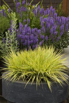 Variegated Moor Grass - Monrovia - Variegated Moor Grass