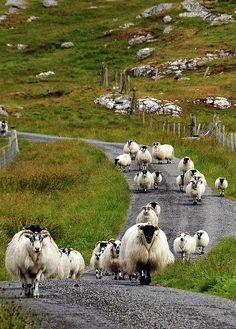 One way traffic on Isle of Lewis.  (Lewis is the northern part of Lewis and Harris, the largest island of the Western Isles or Outer Hebrides of Scotland. The total area of Lewis is 683 square miles. Wikipedia)