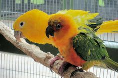Fisher Island Parrots