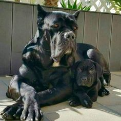 31 Random Pics to Give You a Boost - Ftw Gallery Check out a some of our amazing Featured Cane Corso Breeds we Love! Giant Dog Breeds, Dog Breeds List, Giant Dogs, Cute Dogs Breeds, Cão Cane Corso, Chien Cane Corso, Beautiful Dogs, Animals Beautiful, Cute Animals