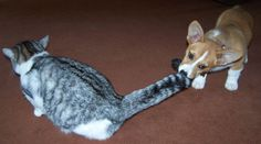 This would be a cat-astrophe (see what I did there?? Hehe) in my house!! #corgi