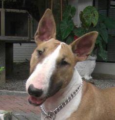 Nina Bull Terrier