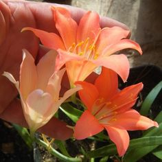 A delicate, though large bell-like flower - orange-red, on a flower stem approx. 450mm in height. Leaves are slender and tender, tapered towards the…
