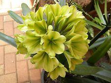 Egrow 100 Pcs/Pack Potted Clivia Seeds Miniata Plant Gorgeous Bonsai Rare Bush Lily Flower Bonsai DIY Home Garden Green Flowers, Exotic Flowers, Bonsai, Perennials, Planting Flowers, Beautiful Flowers, Succulents, Seeds, Home And Garden