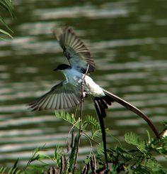 La Tijereta sabanera es un ave rara, te invitamos a saber más sobre los animales raros en el post de nuestro blog.