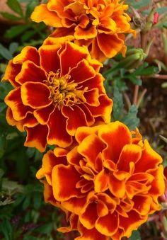 Marigolds (Tagetes patula)