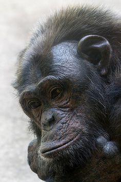 Chimpancé (SM)