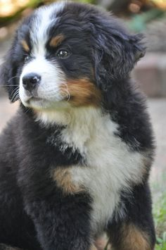 Bernese mountain dogs are SO cute. big gentle dogs. good with family. i have a breed profile on my petguide site