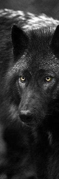 Gorgeous Black Wolf.
