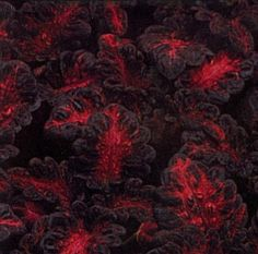 * 40 Black Dragon Coleus Seeds - Great indoors or out! Tongues of Fire for the Shade!Terrific texture, PLUS eye-catching red-to-violet color! Breathe a little hot color into the shade border or sunny