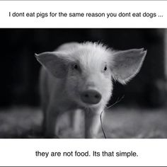 I don't eat pigs for the same reason you don't eat dogs. They are not food. It's that simple. {Go Vegan}