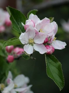 Last year the apple tree in our front garden had very few flowers and produced only five apples. This year it is covered in blossom. Peach Flowers, White Flowers, Beautiful Flowers, Apple Tree Blossoms, Peach Blossoms, Spring Nature, Blossom Flower, Natural Forms, Dream Garden