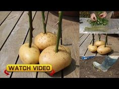 # Insanely Clever Gardening Tips and Ideas (flowers amp; vegetables) Taking rose cuttings an easy to guide, we also show you how to grow your roses in potatoes.Taking rose cuttings an easy to guide, we also show you how to grow your roses in potatoes. Gardening Gloves, Gardening Tips, Vegetable Gardening, Container Gardening, Plantar Rosales, Roses In Potatoes, Grow Potatoes, Comment Planter Des Roses, Rose Potato